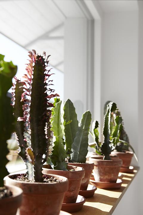 Växter Kaktus Fiskarhedenvillan