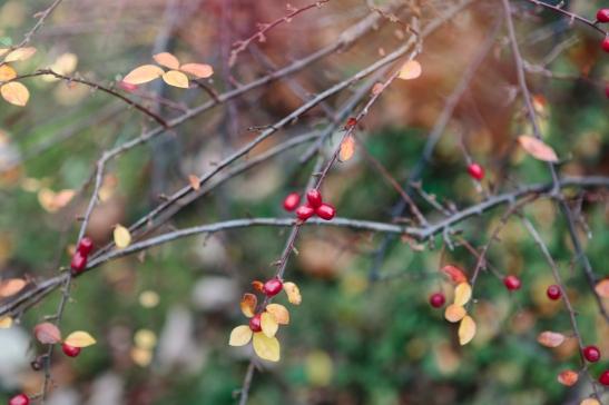 Bär träd