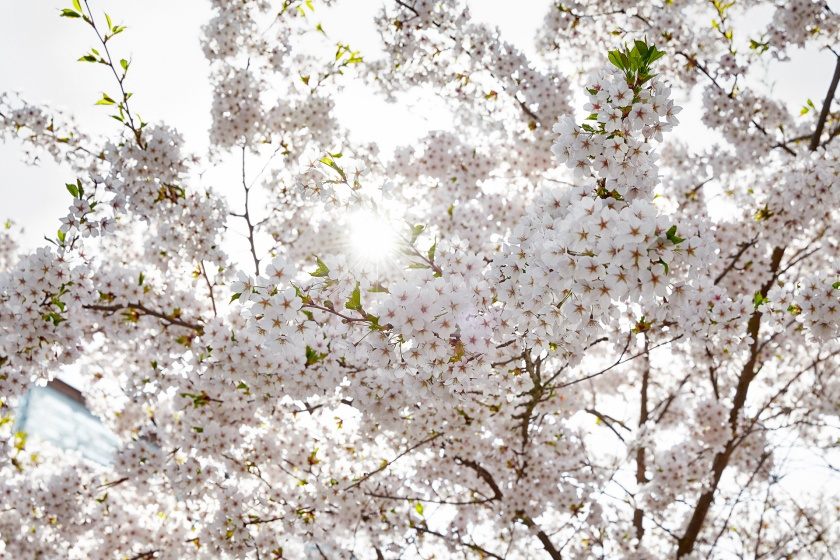 Hammarby sjöstad blommar träd