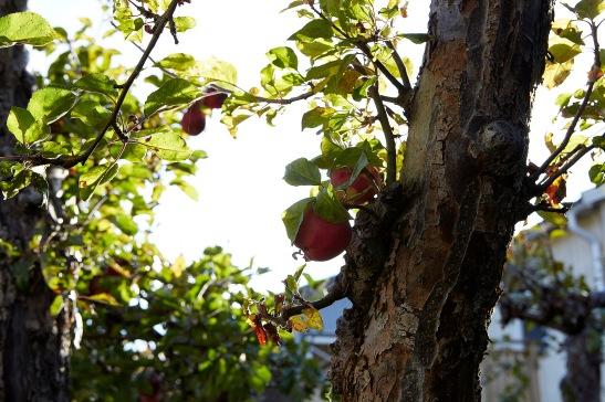 Äpplen Enskede Tallkrogen Fantastic Frank